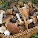 Delle qualità salutari dei funghi che si possono mangiare e di qualche altra curiosità, di questo tratteremo nella Rubrica di venerdì 17 Novembre.